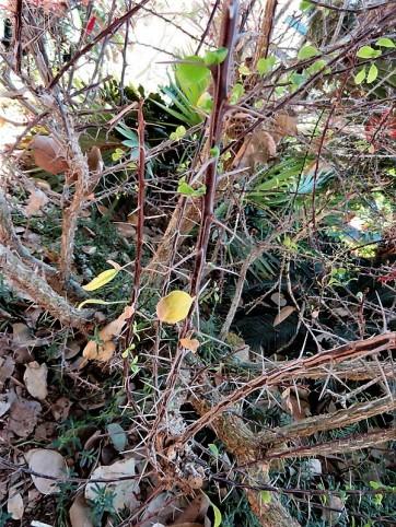 Fouquieria macdougalii IMG_1294 (2)