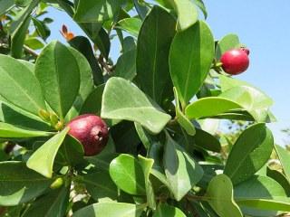 Guava_Psidium cattleianum IMG_0199-001