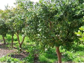 Guava_Psidium cattleianum IMG_0206 (2)