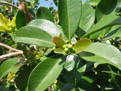 Guava_Psidium cattleianum IMG_0209 (2)