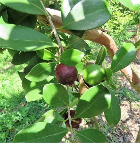 Guava_Psidium cattleianum IMG_0211-001 (3)