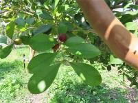 Guava_Psidium cattleianum IMG_0212 (2)