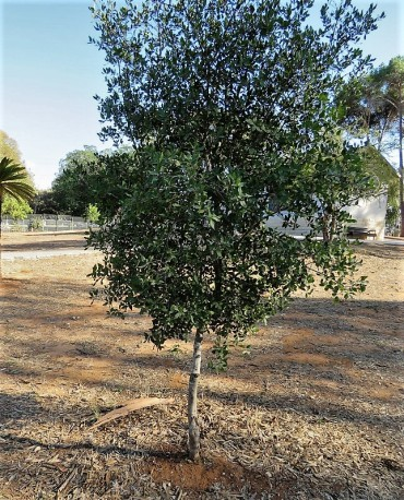 Phillyrea latifolia IMG_5282 (2)