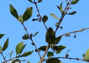 Phillyrea latifolia IMG_5287-001 (2)
