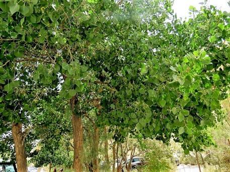 populus-euphratica-img_7700 (3)