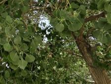 Populus euphratica IMG_7701-003 (2)