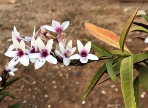 Pseuderanthemum_IMG_2280 (2)
