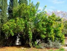 Tecoma castanifolia_IMG_5737-001