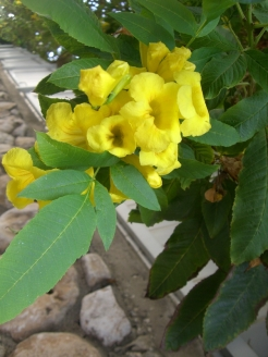 Tecoma castanifolia_Sosed_CIMG1987-001