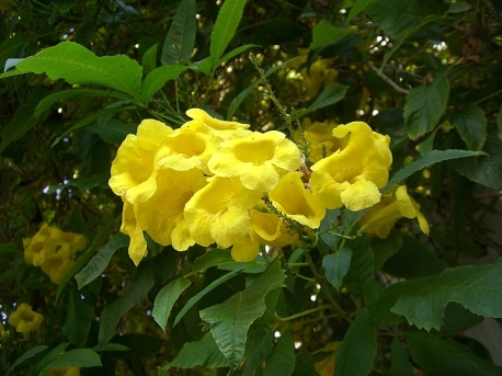 Tecoma castanifolia_Sosed_CIMG1989-001