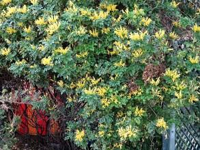 Tecomaria capensis Aurea IMG_2766 (2)