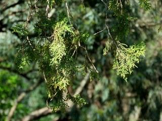 Tuya_Platycladus orientalis IMG_9784-001