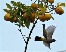 Apelsin_IMG_3151-001