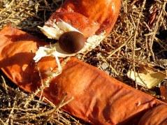 Caesalpinia spinosa IMG_0486-001