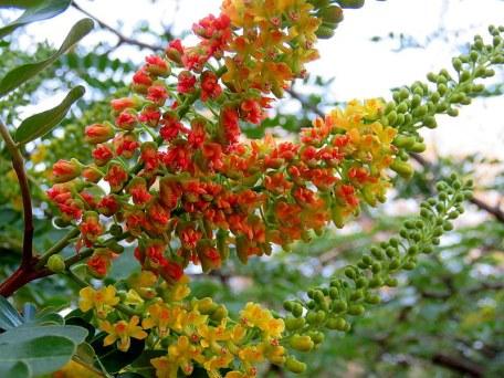 Caesalpinia spinosa IMG_3319-001