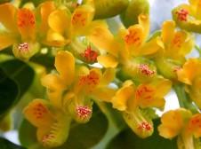 Caesalpinia spinosa IMG_3333-002