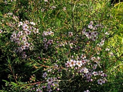 Chamelaucium uncinatum_IMG_5213-002