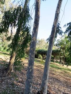 Corymbiamaculata Eucalyptus IMG_5431 (2)