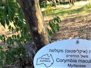 Corymbiamaculata Eucalyptus IMG_5432-001 (2)