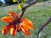 Erythrina caffra_IMG_6206 (2)