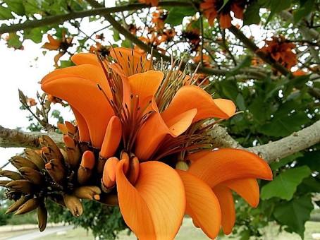 Erythrina caffra_P2250365_a