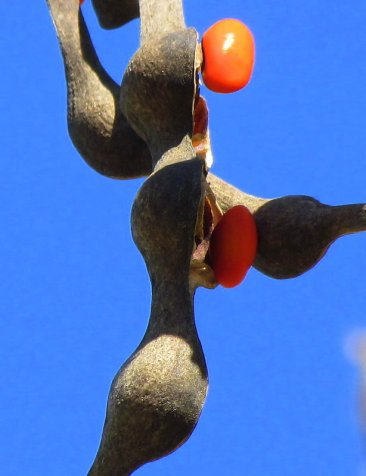 Erythrina corallodendron_IMG_6249-004-a