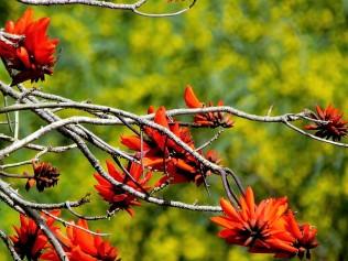 Erythrina corallodendron_IMG_8011