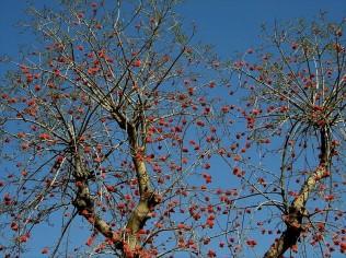 Erythrina corallodendron_P2200139_a