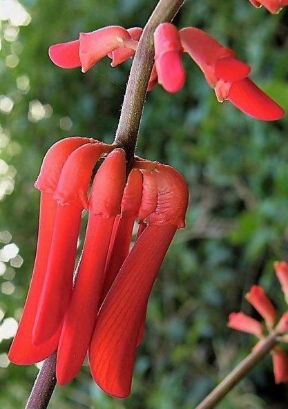 Erythrina humeana_P9150421_ab