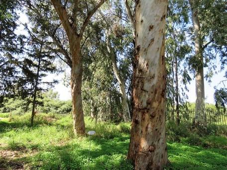 Eucalyptus astringens IMG_9685 (2)