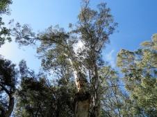 Eucalyptus astringens IMG_9687 (2)