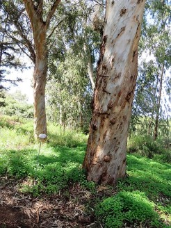 Eucalyptus astringens IMG_9688 (2)