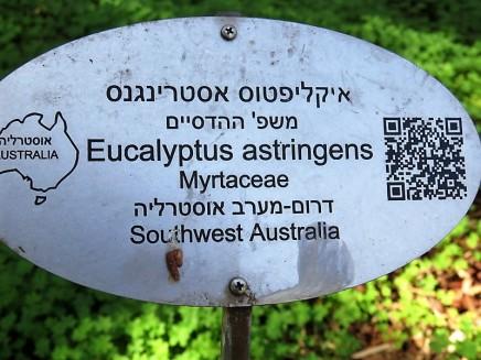 Eucalyptus astringens IMG_9689