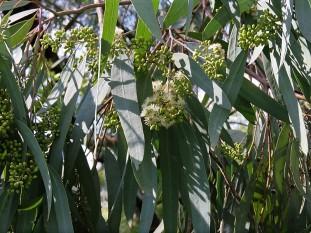 Eucalyptus bicolor IMG_9793 (2)