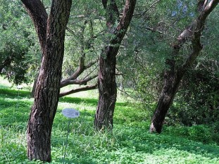 Eucalyptus bicolor IMG_9797 (2)