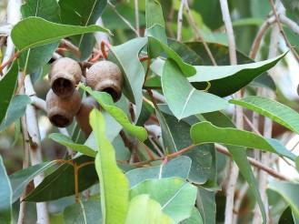 Eucalyptus calophylla_ Corymbia IMG_5356 (2)