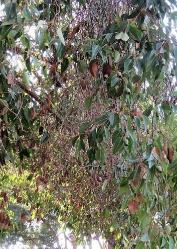 Eucalyptus calophylla_ Corymbia IMG_5360-001 (3)