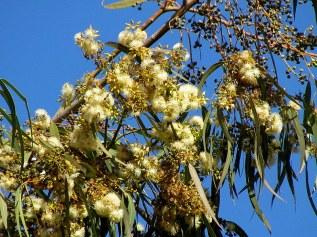 Eucalyptus camaldulensis IMG_2387-001