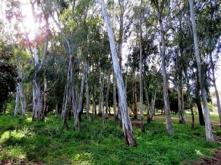 Eucalyptus camaldulensis IMG_2680 (2)