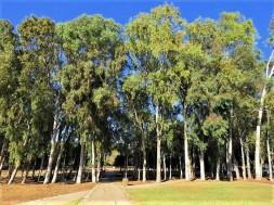 Eucalyptus camaldulensis IMG_5296-002