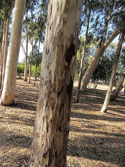 Eucalyptus camaldulensis IMG_5298 (3)