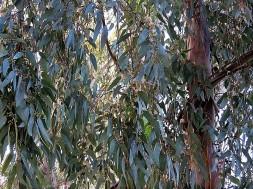 Eucalyptus camaldulensis IMG_5299 (3)