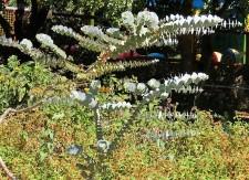 Eucalyptus cinerea_Pepeln_IMG_9894 (2)