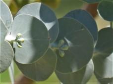 Eucalyptus cinerea_Pepeln_IMG_9898-004 (3)