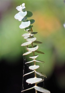 Eucalyptus cinerea_Pepeln_IMG_9901 (2)