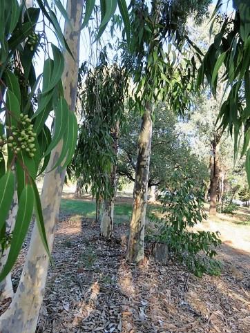 Eucalyptus Corymbiamaculata IMG_5430 (2)