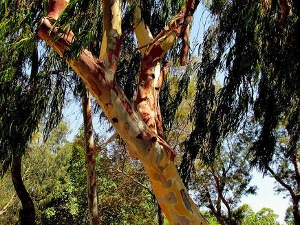 Eucalyptus deglupta IMG_3813