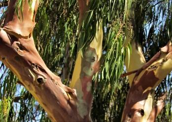 Eucalyptus deglupta_Radujn_IMG_3814 - коп (2)