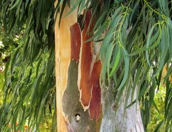 Eucalyptus deglupta_Radujn_IMG_3815-1 (2)