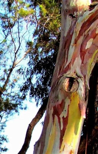 Eucalyptus deglupta_Radujn_IMG_3817 (2)